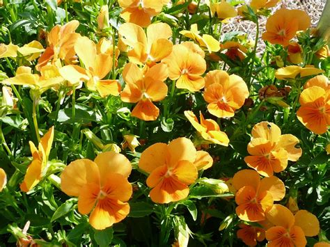 Winter Flowers For Garden Get It Growing Pansies Violas Make Ideal Winter Flower Gardens Bossier Press Tribune