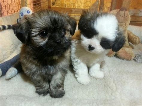 shih tzu puppies for sale toronto bichon shih tzu puppies for sale other south saskatchewan location