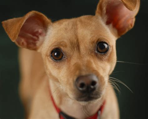 chihuahua and weiner mix dotson mixed with chihuahua breeds picture