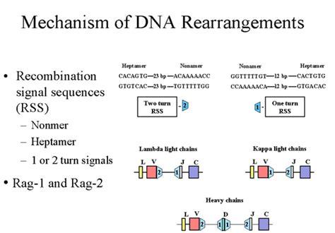 j protein immunoglobulins genetics of immunoglobulins