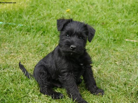 miniature schnauzer puppies miniature schnauzer pictures information temperament characteristics animals breeds