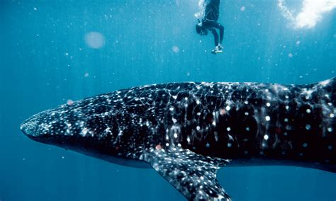 dive with whale sharks swimming with whale sharks is staggering scary and
