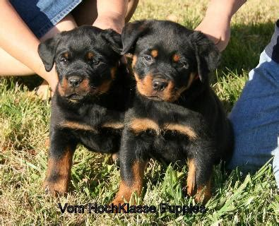rottweiler oregon buy rottweiler puppies oregon photo