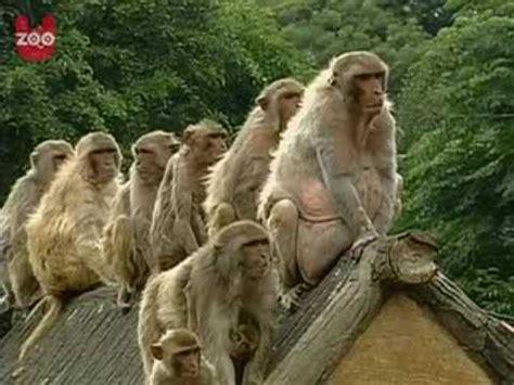fat monkeys youtube
