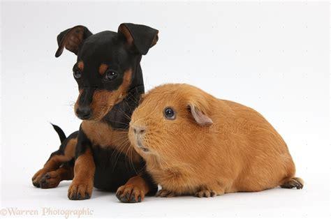 mini pin puppies miniature pinscher dogs 44 cool hd wallpaper dogbreedswallpapers