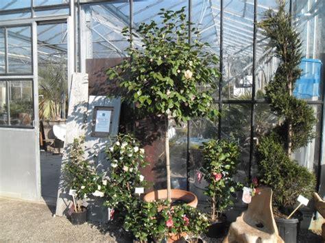 Bomen In Pot Op Terras by Camellia Japonica Op Stam Groenblijvers
