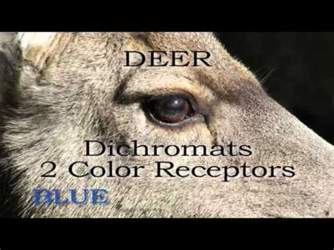 what colors can deer see what colors can whitetail deer really see