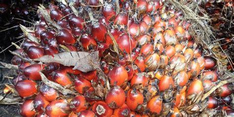 Minyak Goreng Kelapa Sawit menengok pengolahan kelapa sawit hingga menjadi minyak goreng