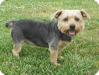 yorkie puppies huntsville al simon adopted ad2587 huntsville al silky terrier yorkie