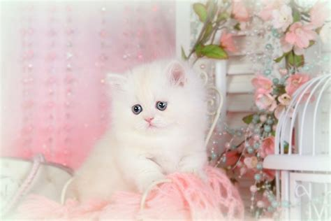Adorable Little Male Rug Hugger Persian Kitten For Sale Rug Hugger Kittens For Sale
