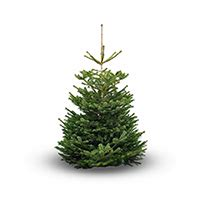 nordmann fir 187 marldon christmas trees