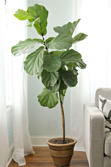 ficus planta interior plantas de interior ficus lyrata o ficus pandurata