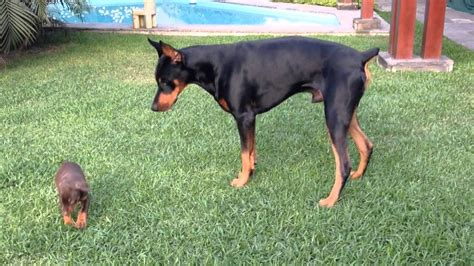 how much are doberman puppies this precious puppy has no fear as quot kyra quot goes up against quot quot a much
