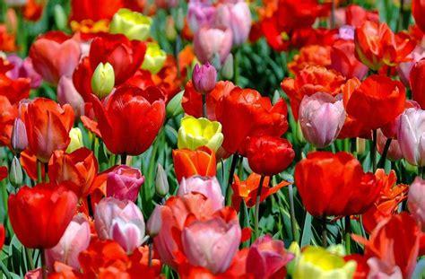 maggio fiori salerno festa lavoro quot fiorata quot con l evento fiori d