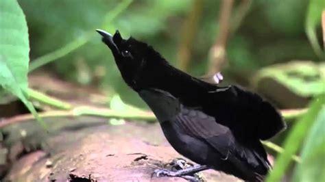 bird of paradise graceful mating dance youtube