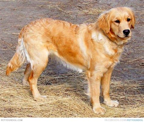 small dogs similar to golden retriever miniature golden retriever pictures wacky or