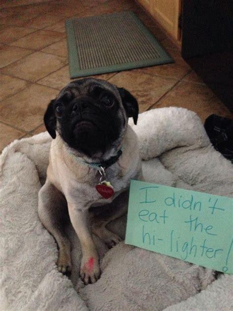 pug lighter 66 best images about pug shaming on