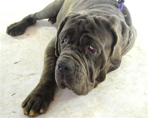 mastiff puppies az best 20 neapolitan mastiffs ideas on