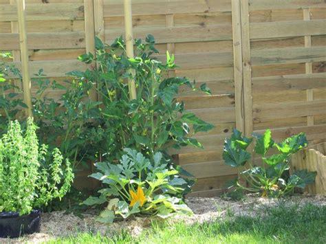 piante di zucchine in vaso piantare zucchine orto come coltivare zucchine