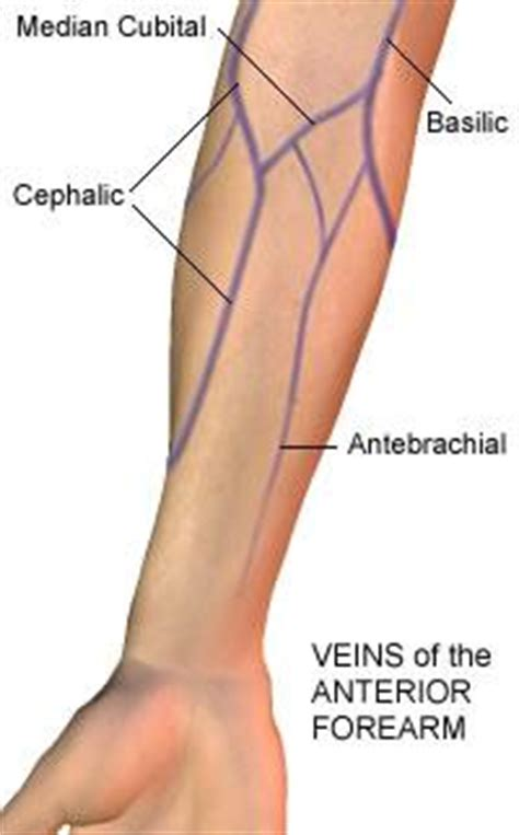 arm veins diagram arteries and veins of limb at southeastern