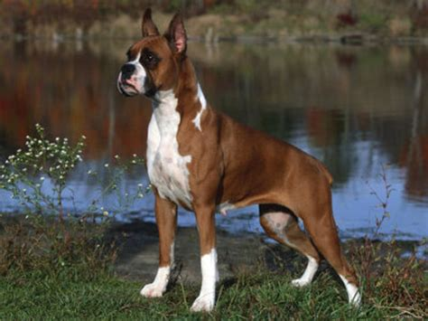 types of boxer dogs boxer