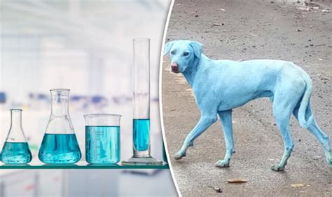 blue dogs india blue dogs spotted in india animals changing colour after from polluted river