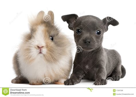selling puppies at 6 weeks chihuahua puppy 6 weeks and rabbit stock image image 17597339