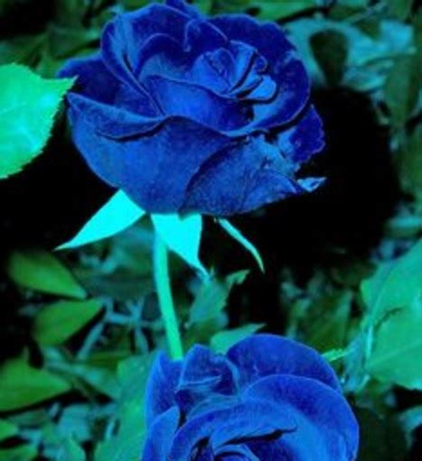 Bunga Pasir Warna Tua arti dan makna bunga mawar berbagai warna bibitbunga
