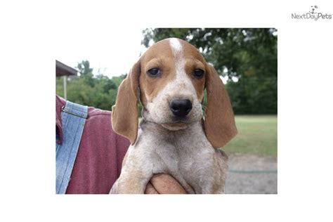 redtick coonhound puppies coonhound puppy for sale near joplin missouri 98932112 a671