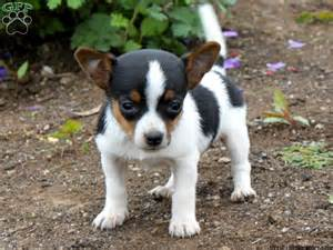fox terrier yorkie mix puppies for sale fox terrier mix puppies for sale