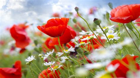 wallpaper poppy   wallpaper  meadows