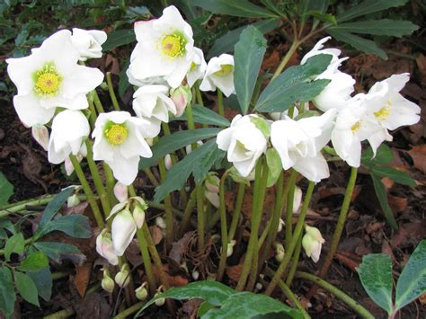 Plants That Need No Sunlight by Helleborus Niger Christmas Rose World Of Flowering Plants