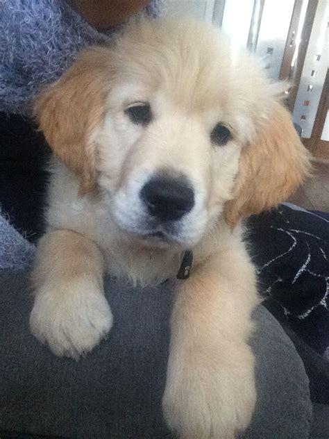 13 week puppy gorgeous 13 week puppy chorley lancashire pets4homes