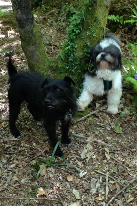 patterdale cross shih tzu 27 best images about mac on terrier breeds and pets