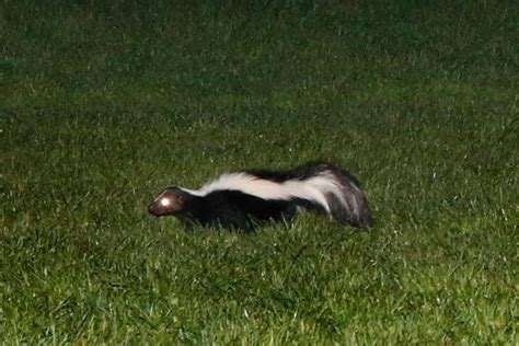 skunk in my backyard saving your lawn from grub loving skunks