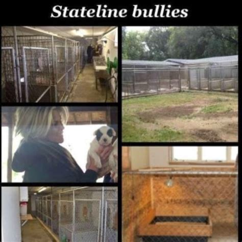 free pitbull puppies in chicago stateline bullies american pit bull terrier breeder in chicago illinois