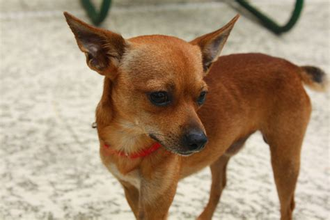 chihuahua breed deer chihuahua aka quot deer quot chihuahua there are not se flickr