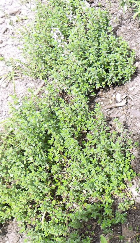 Thyme Herbs backyard patch herbal herb of the week lemon thyme