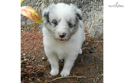 blue merle sheltie puppies for sale shetland sheepdog sheltie puppies shetland sheepdog sheltie breeds picture