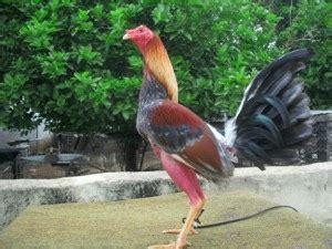 pelea de gallos en la republica dominicana 2016 gallerosdecalle