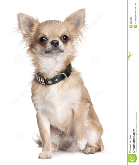 8 month puppy chihuahua puppy 8 months stock photography image 9774082