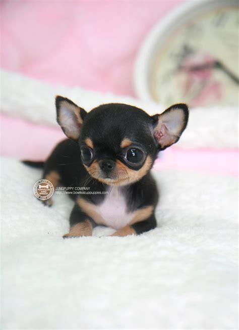 real teacup puppies 17 best ideas about teacup chihuahua on teacup chihuahua puppies