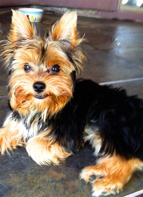boy yorkie hairstyles 85 best images about yorkie haircuts on best style terrier