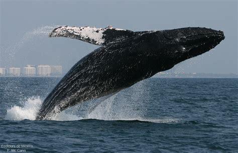 la ballena econotas datos de la ballena jorobada ecotoursvallarta com