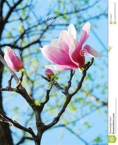Tree Flower Of by Magnolia Tree Flowers Royalty Free Stock Photography