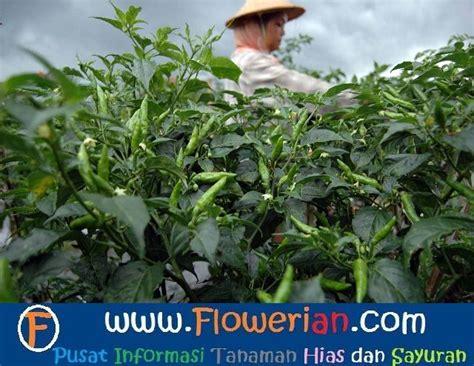 Pupuk Nasa Untuk Bunga Dan Buah cara budidaya tanaman cabe budidaya cabe dengan pupuk