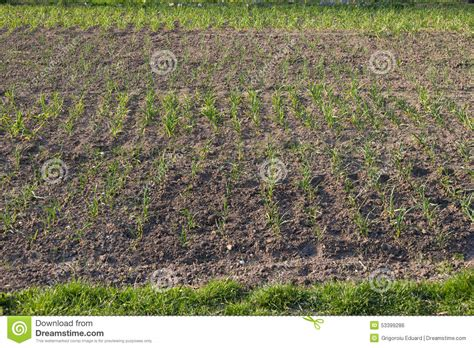 bio home garden with green garlic plantation stock photo