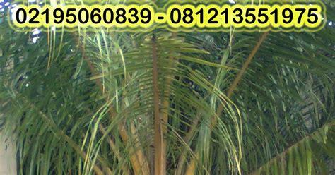 Biji Benih Tanaman Hias Pohon Palem Putri pohon hias pohon kelapa kuning pohon palem merah tukang taman green