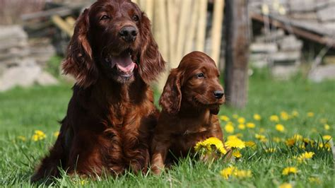 irish setter dog wallpaper 7 hd irish setter dog wallpapers hdwallsource com