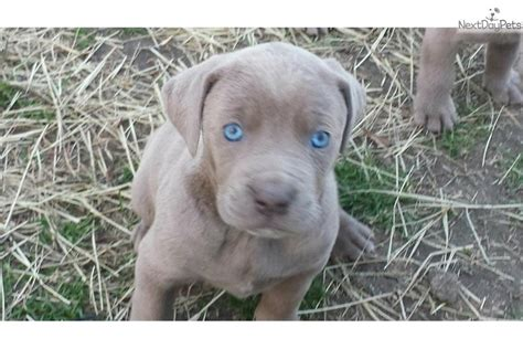 weimaraner puppies for sale near me weimaraner puppy for sale near eastern nc carolina 7240a207 9181